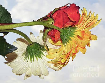 Gerbers With Rose by Elvira Ladocki