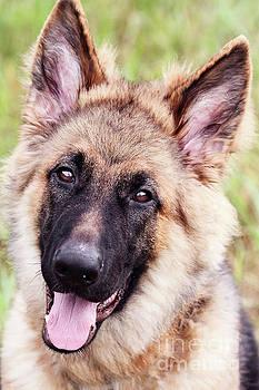 German Shepherd Dog by Stephanie Frey