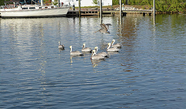 Ghost Pelican by Aimee L Maher Photography and Art Visit ALMGallerydotcom