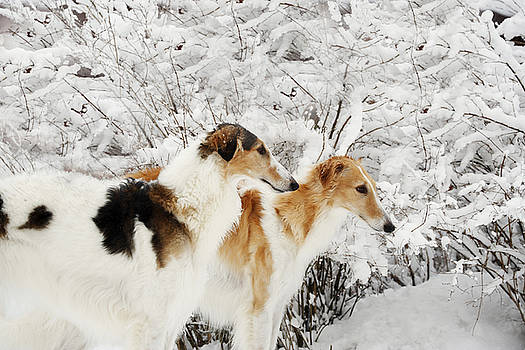 giant Borzoi hounds in winter by Christian Lagereek
