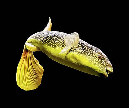 Giant Freshwater Puffer Fish Tetraodon Mbu by Carsten Reisinger
