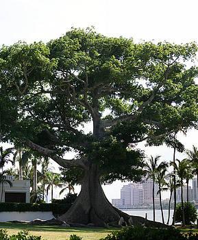 Diane Merkle - Giant Morton Fig Tree