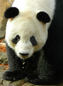 Giant Panda Tian Tian by Emmy Marie Vickers