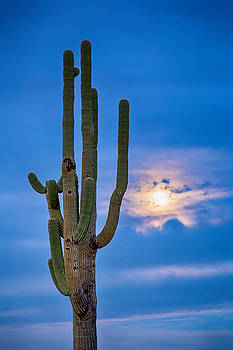 Giant Saguaro Cactus Golden Cloudy Full Moonset by James BO Insogna
