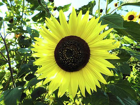 Giant Sunflower  by Nancy Spirakus