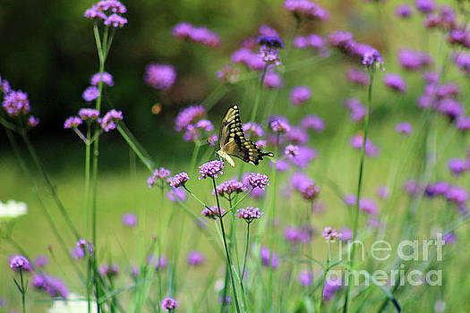 Giant Swallowtail Butterfly in Purple Field by Karen Adams