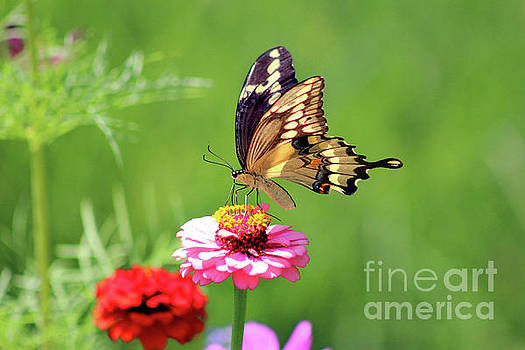 Giant Swallowtail Butterfly on Pink Zinnia by Karen Adams