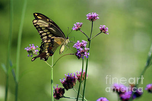 Giant Swallowtail Butterfly on Verbena by Karen Adams