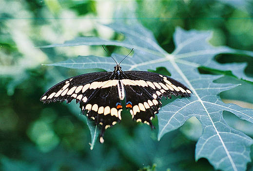 Giant Swallowtail by Rex E Ater