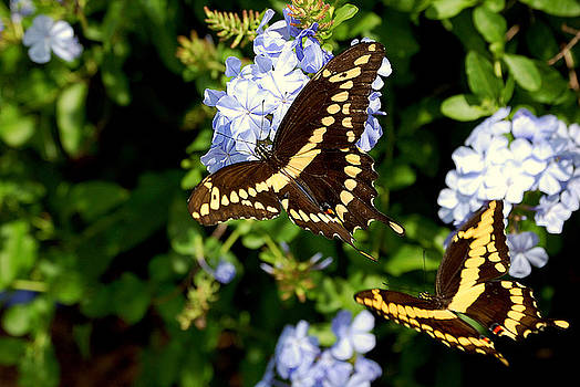 Giant Swallowtails by Steven Scott