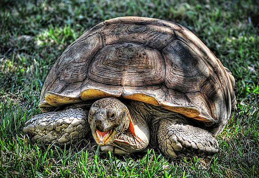 Giant Tortoise by Savannah Gibbs