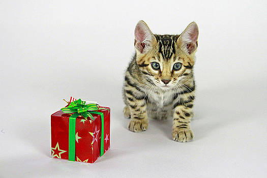 Gift of a Kitten by Shoal Hollingsworth