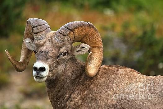 Adam Jewell - Gigantic Bighorn Sheep