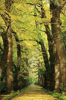 Gaspar Avila - Ginkgo biloba trees