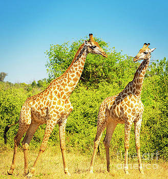 Giraffe in Africa by Tim Hester