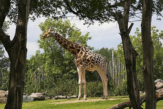 Giraffe by Michel DesRoches