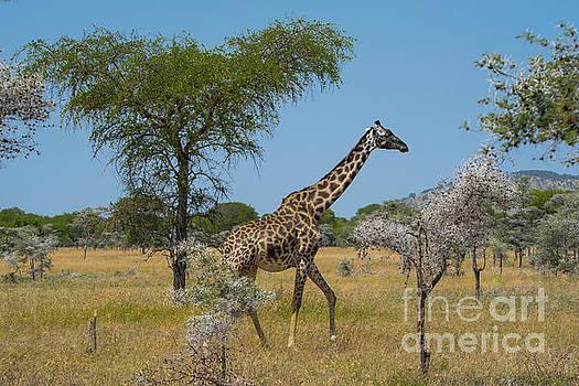 Giraffe on the move by Pravine Chester