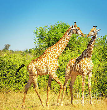 Giraffes in Africa by Tim Hester