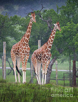 Giraffes in the Rain by Greg Kopriva