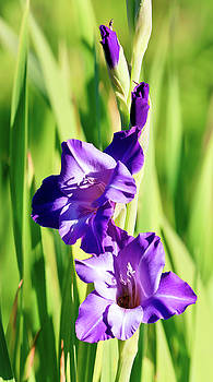 Gladiola Purple by Athena Mckinzie