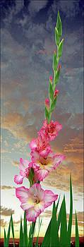 Gladiola Sunset by Ron Morecraft