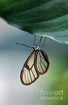 Glasswinged Butterfly Macro by Brandon Alms