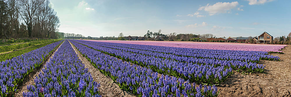 Glorious bulbfields in full flower - panorama by Steppeland -