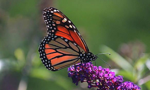 Rosanne Jordan - Glowing Monarch Butterfly