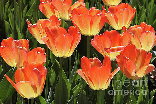 Glowing Tulips #2 by Judy Whitton