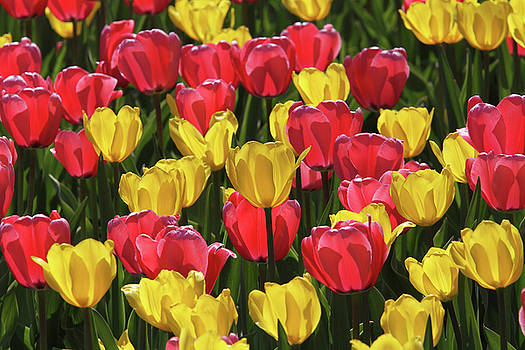 Glowing Tulips by Judy Whitton