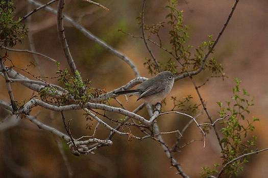 Gnatcatcher in the trees by Ruth Jolly