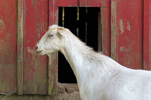 Goat by the Red Barn by Jit Lim