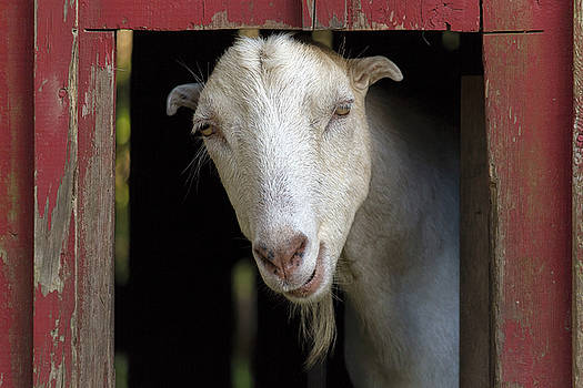 Goat Inside the Red Barn by Jit Lim