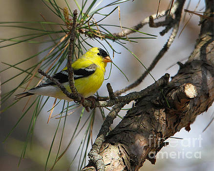 Gold Finch by Roger Becker
