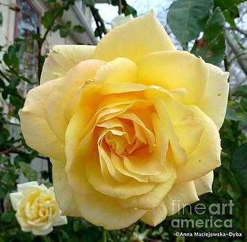 Gold Medal Rose by Anna Folkartanna Maciejewska-Dyba