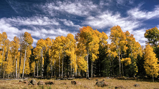 Golden Autumn Aspens  by Saija Lehtonen