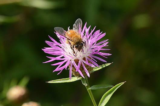 Golden Boy-Bee at work by David Porteus