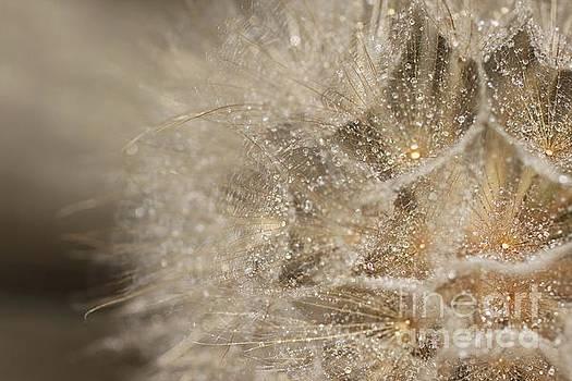 Golden Dandelion  by AR Annahita