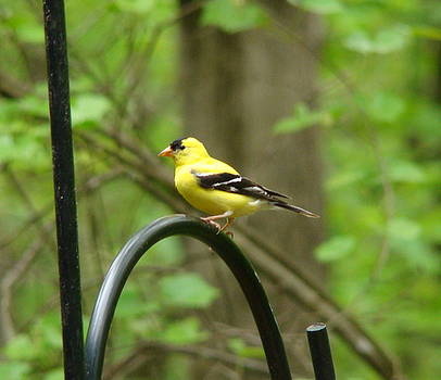 Golden Finch by Rand Herron