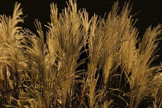 Golden Grasses by Patricia Davis