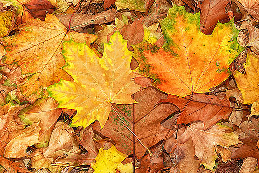 Golden Leaves of Autumn by Maggie Magee Molino