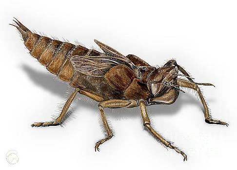 Golden-Ringed Dragonfly Larva Nymph - Cordulegaster boltonii - K by Urft Valley Art