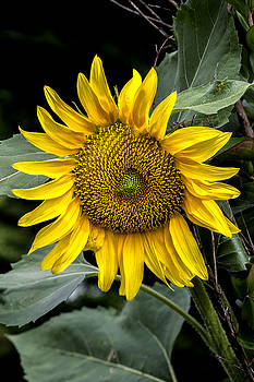 Golden Sunflower by Dan P Brodt Photography