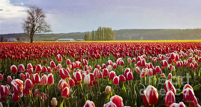 Golden Sunset Across the Tulip Fields by Maria Janicki
