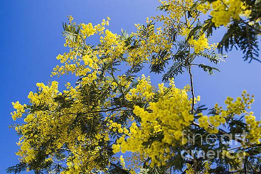 Golden Wattle by Angela DeFrias