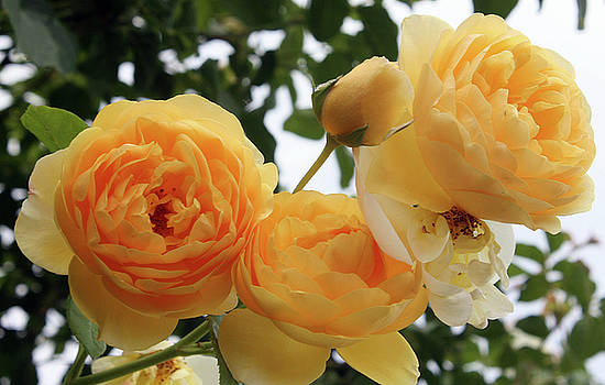 Golden Yellow Roses by Ellen Tully