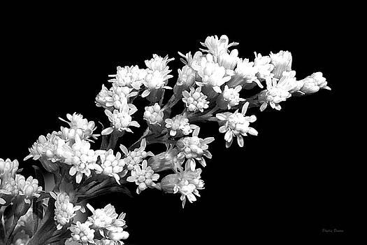 Goldenrod Black and White by Phyllis Denton