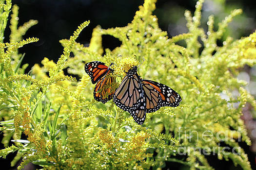 Goldenrod Flowers and Butterflies by Luana K Perez