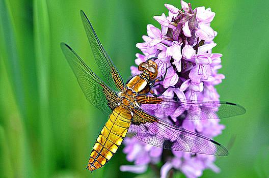 Goldern Dragonfly by Bev  Brown