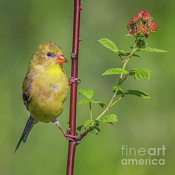 Goldfinch and Thimbleberry by Jerry Fornarotto